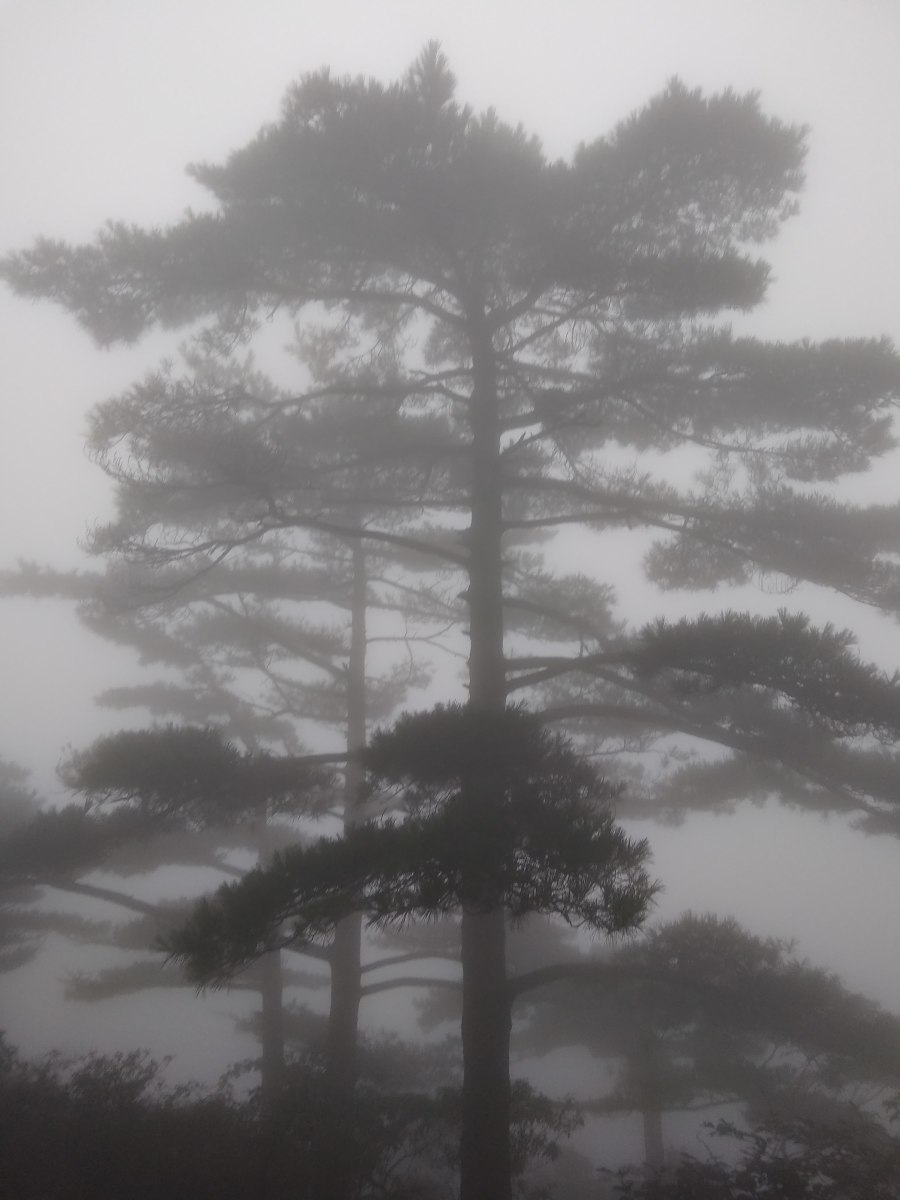 Trees loom out of the heavy mist on Huang Shan.