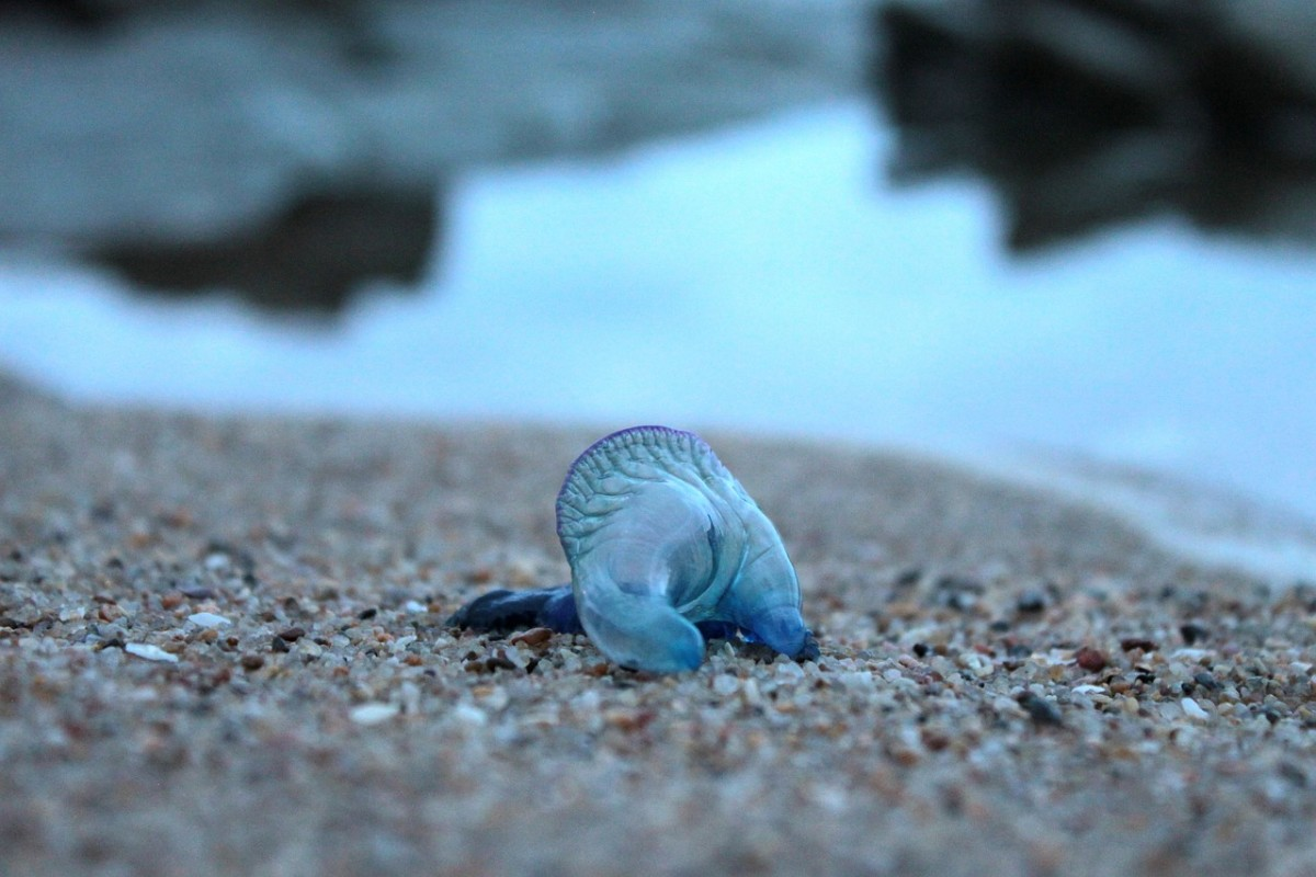A bluebottle jellyfish.