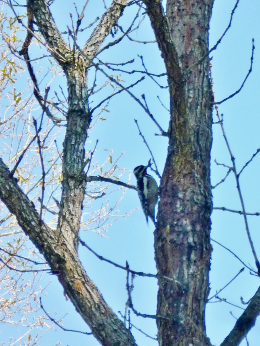 View of the red-naped sapsucker