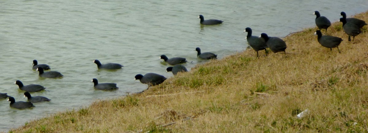 American Coots spotted at Goforth Park