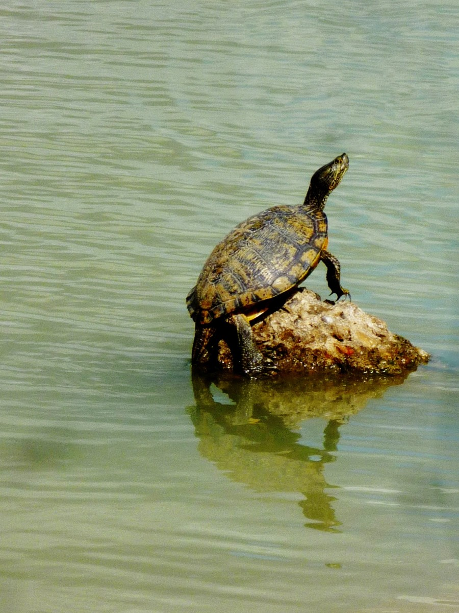 Turtle in lake at Goforth Park