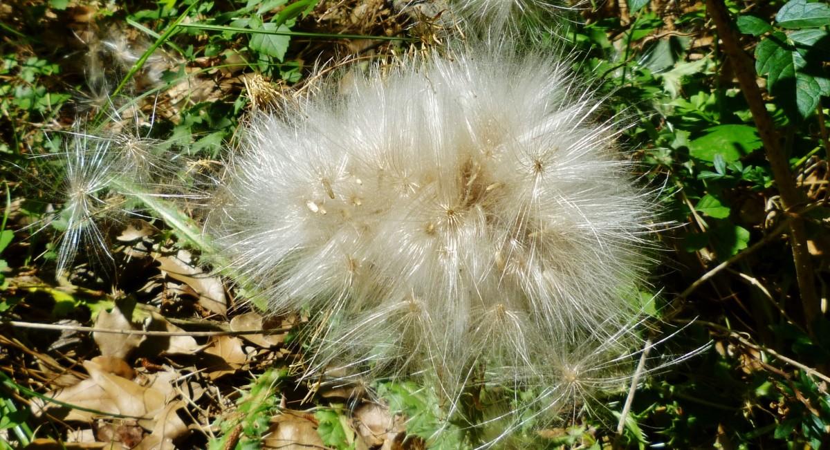 Dandelion in seed form