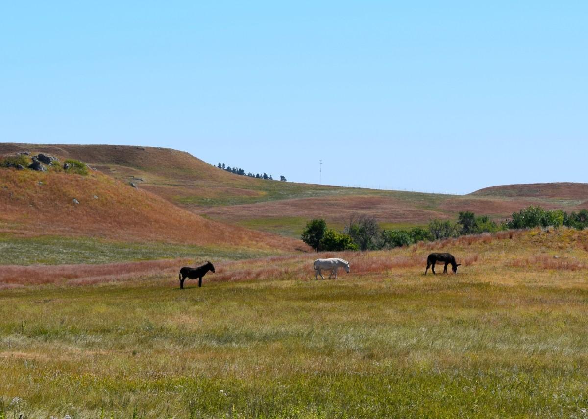 Burros along the Wildlife Loop in Custer State Park