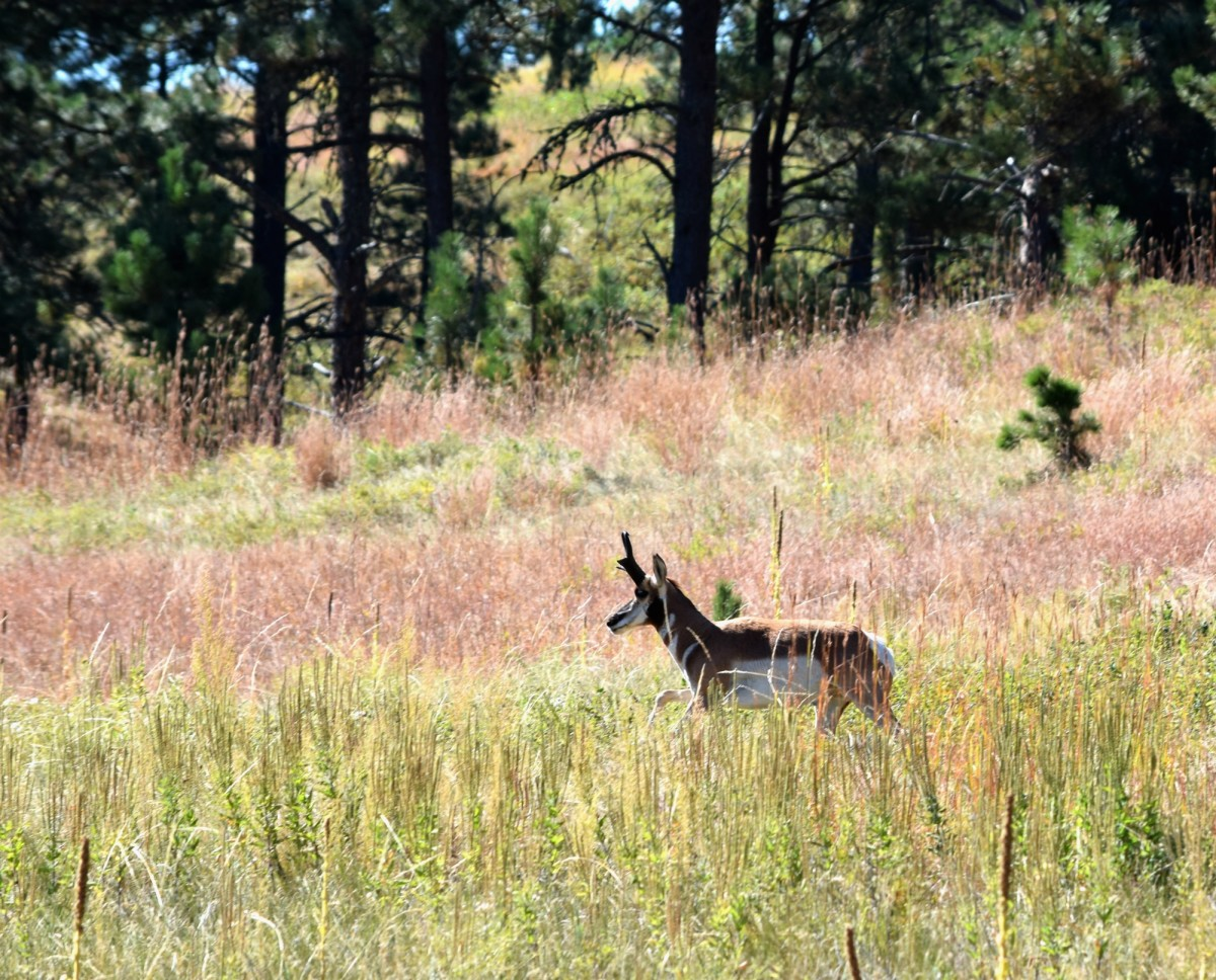 A pronghorn at Wind Cave NP in South Dakota