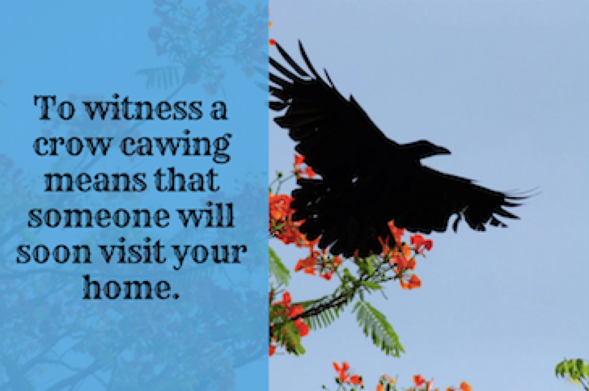 Unlike superstitions in many other countries, in India, crows are considered good omens.