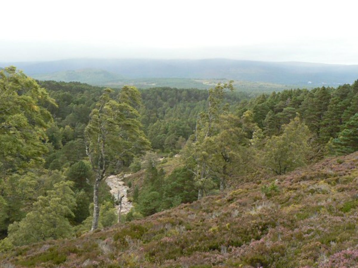 The Ancient Forest of Rothiemurchus, Invernesshire