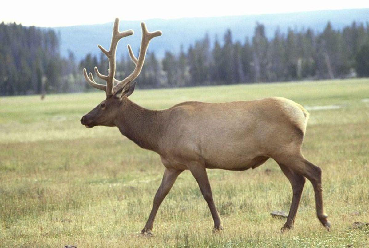 If Bigfoot hunts he may take down prey as large as adult elk.