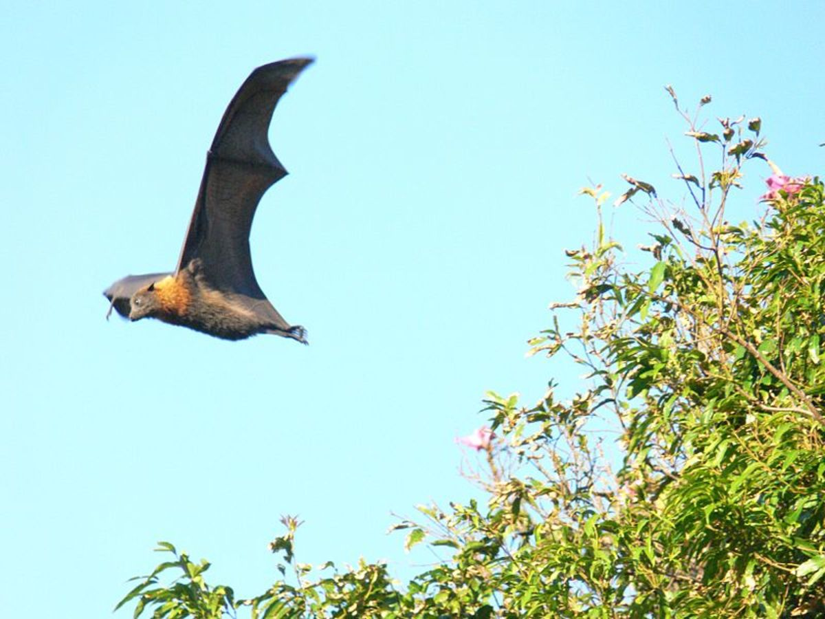 The huge Flying Fox is not native to New Jersey, but could an escaped zoo specimen account for Devil sightings?