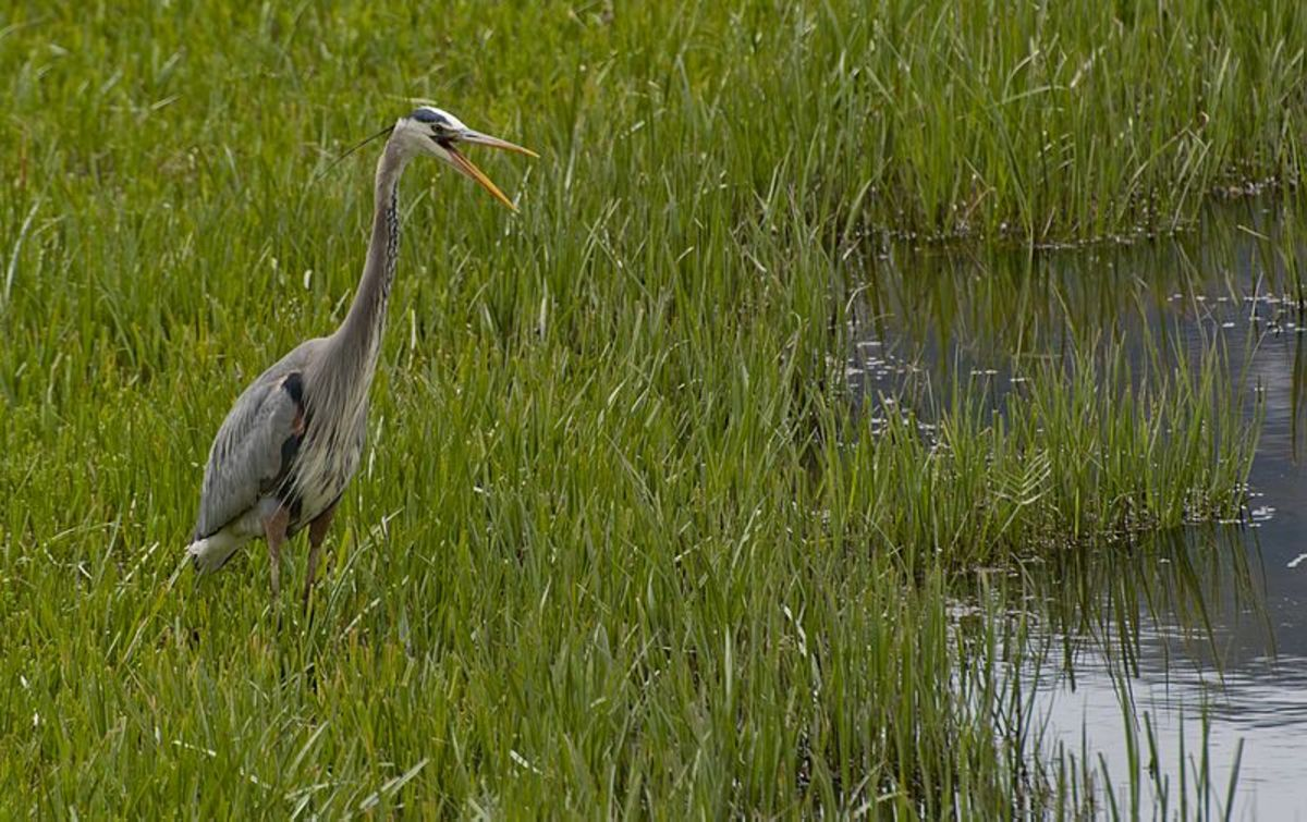 Could Jersey Devil Sightings be explained by unexpected encounters with very large birds like the Great Blue Heron?