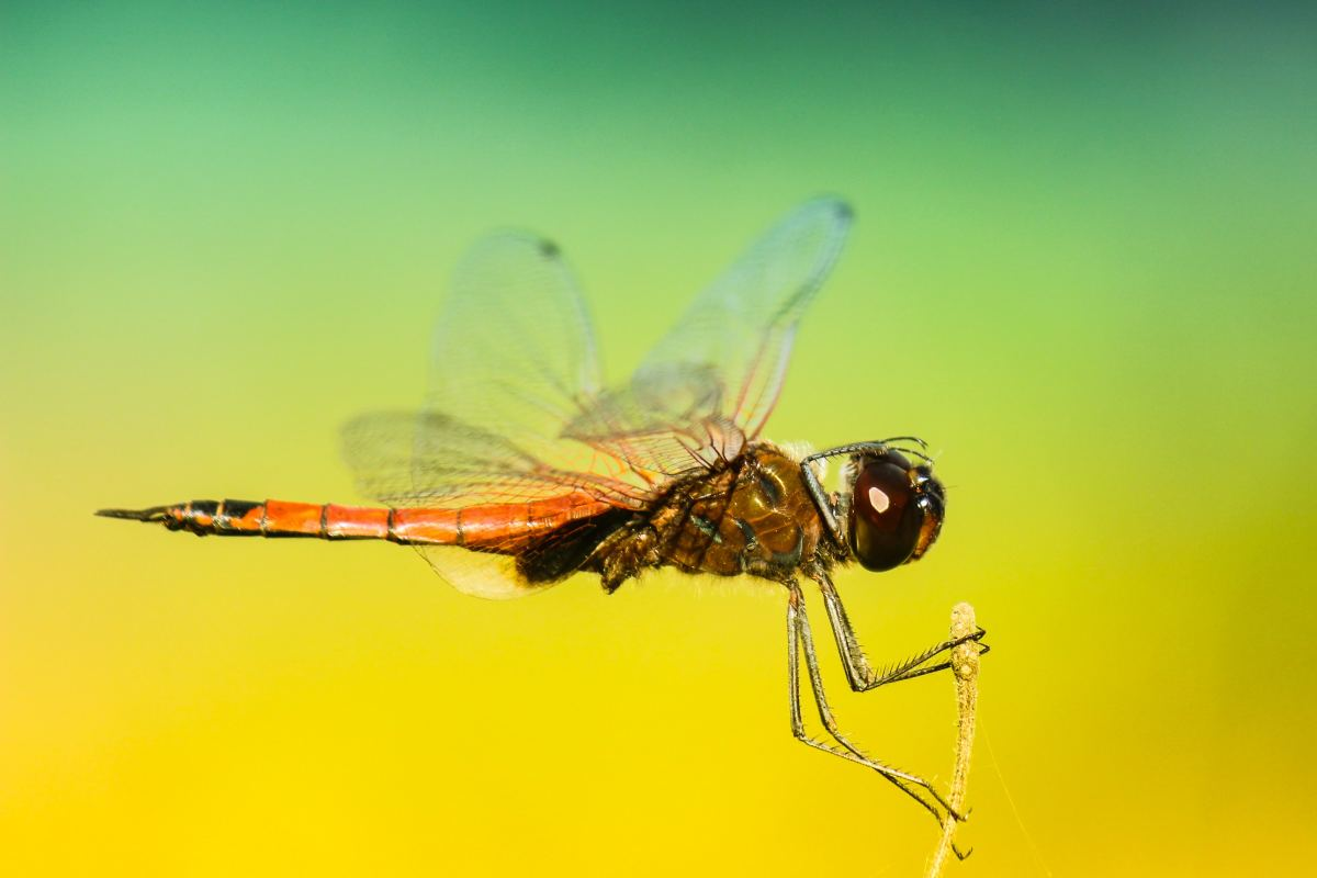 Dragonflies spend a year or more underwater as wingless juveniles before finally emerging to take to the skies.