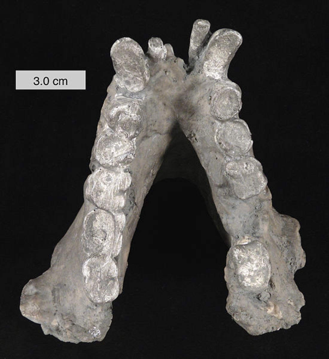 Even after millions of years, little fossil evidence exists for Gigantopithecus Blacki.