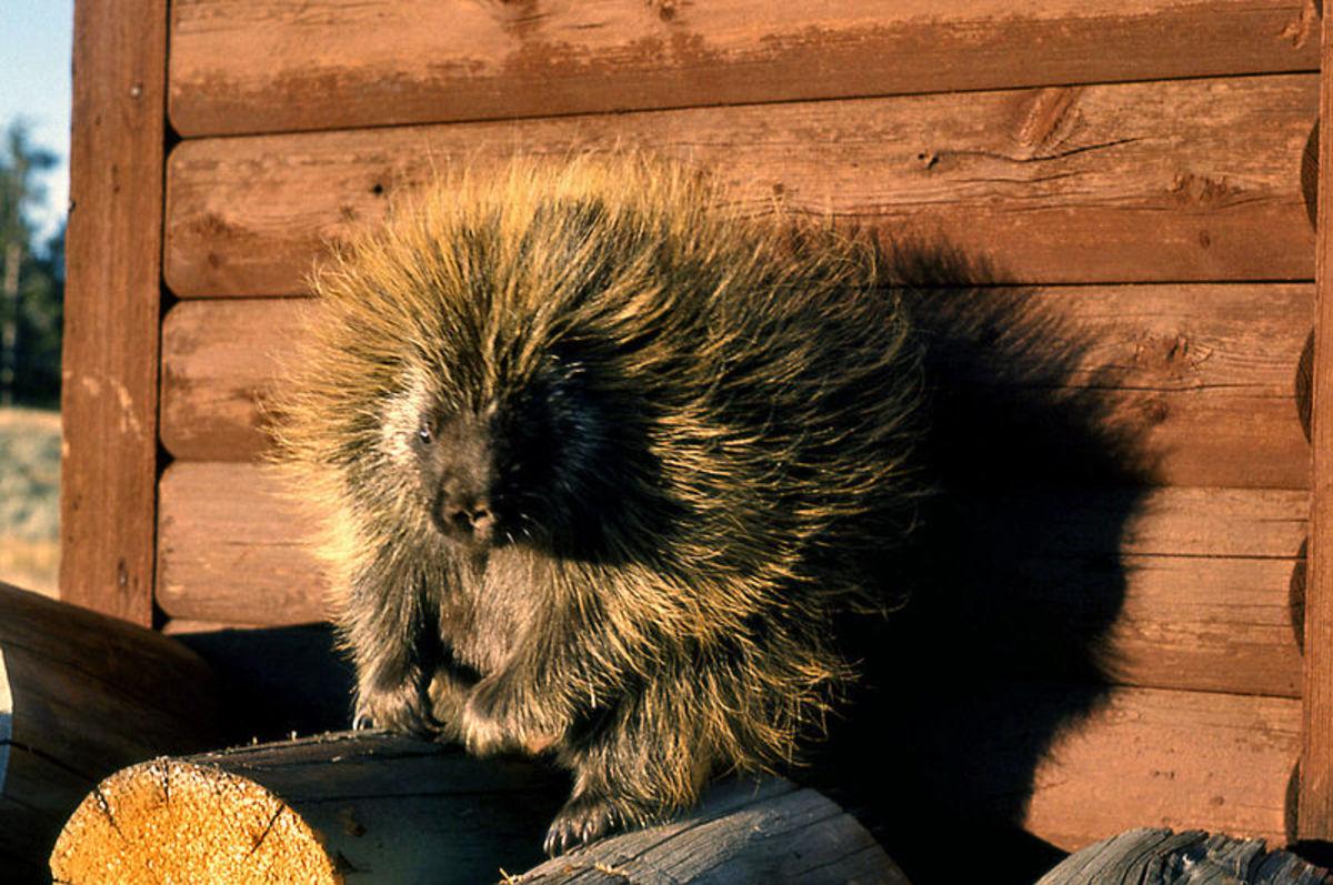 Porcupine: It wasn't me.