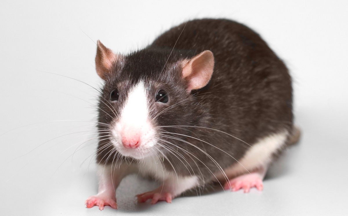 The meaning of your dream can change depending on how you feel about rats.