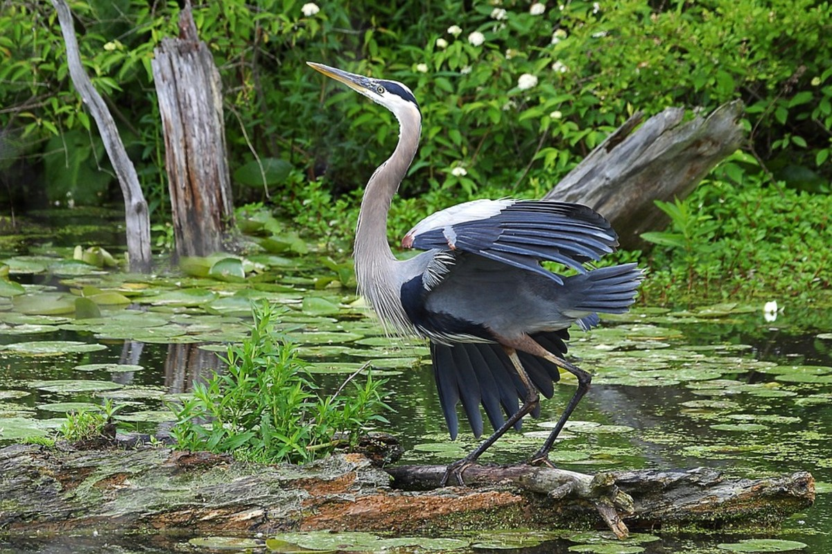 Cuyahoga Valley National Park is home to a diverse array of wildlife, including this Great Blue Heron. Could Grassman be amongst the native species that call this park home?