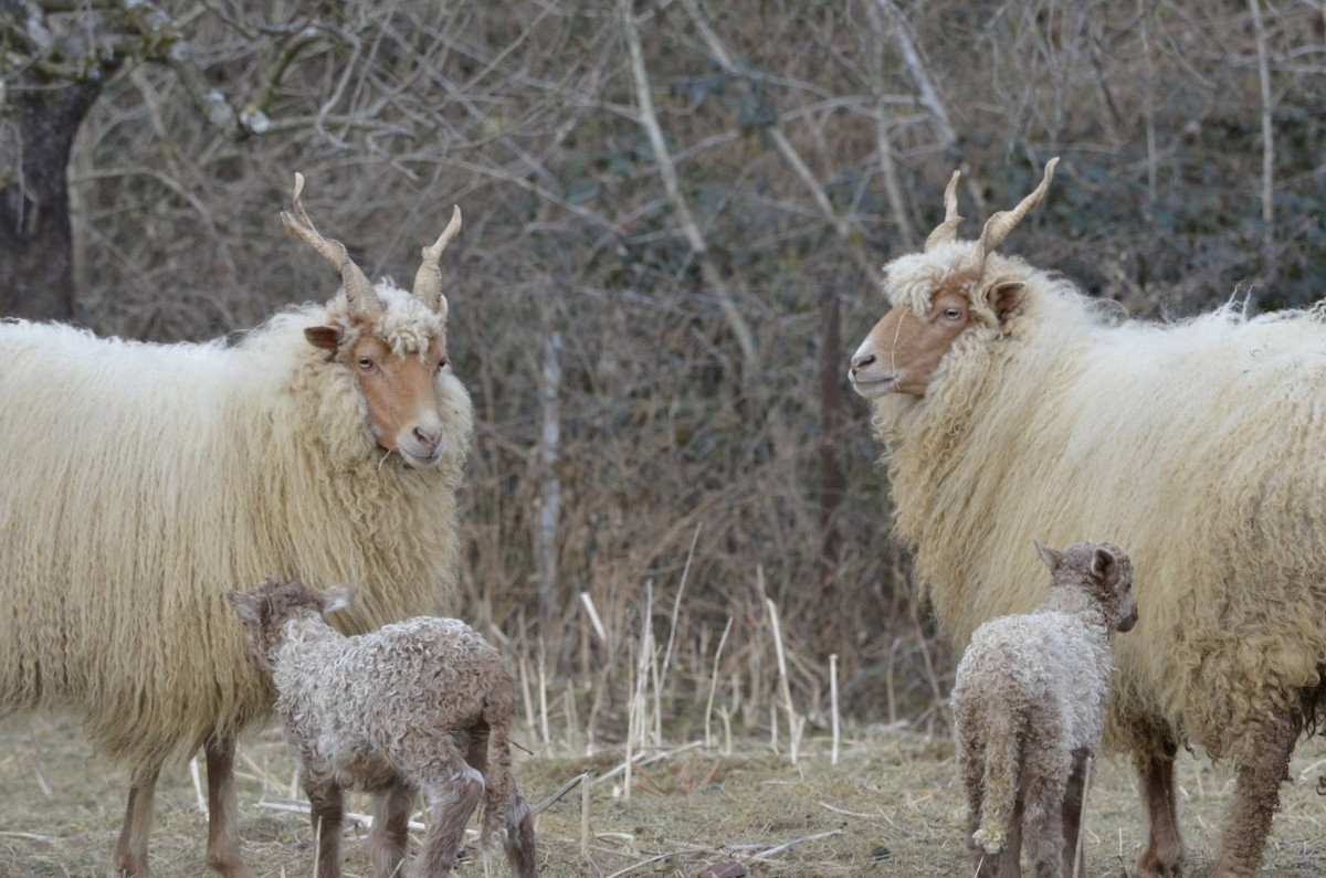 Hungarian Racka sheep