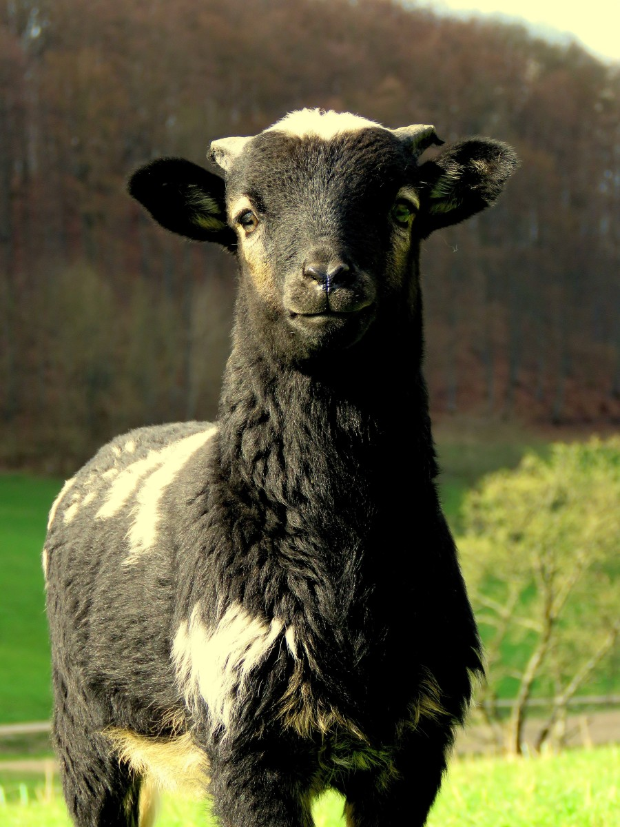 His wool once made him suitable only for a plate with mint sauce, but the black sheep's wool has now put him in high demand!