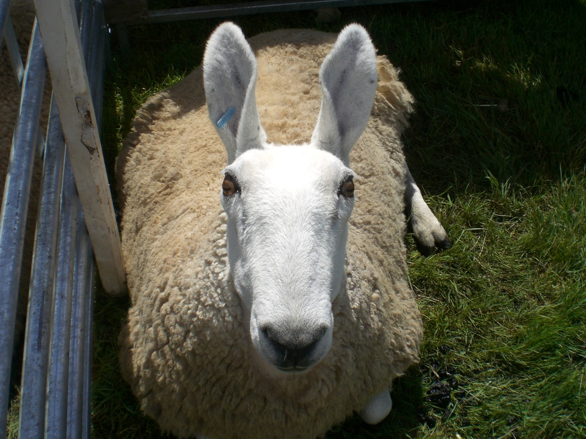 Border Leicester sheep--the sheep with bunny ears