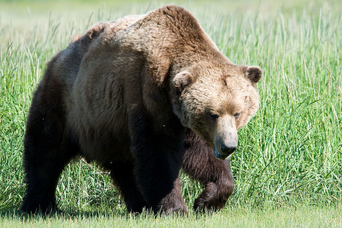 Are many Bigfoot sightings simply misidentified bears?