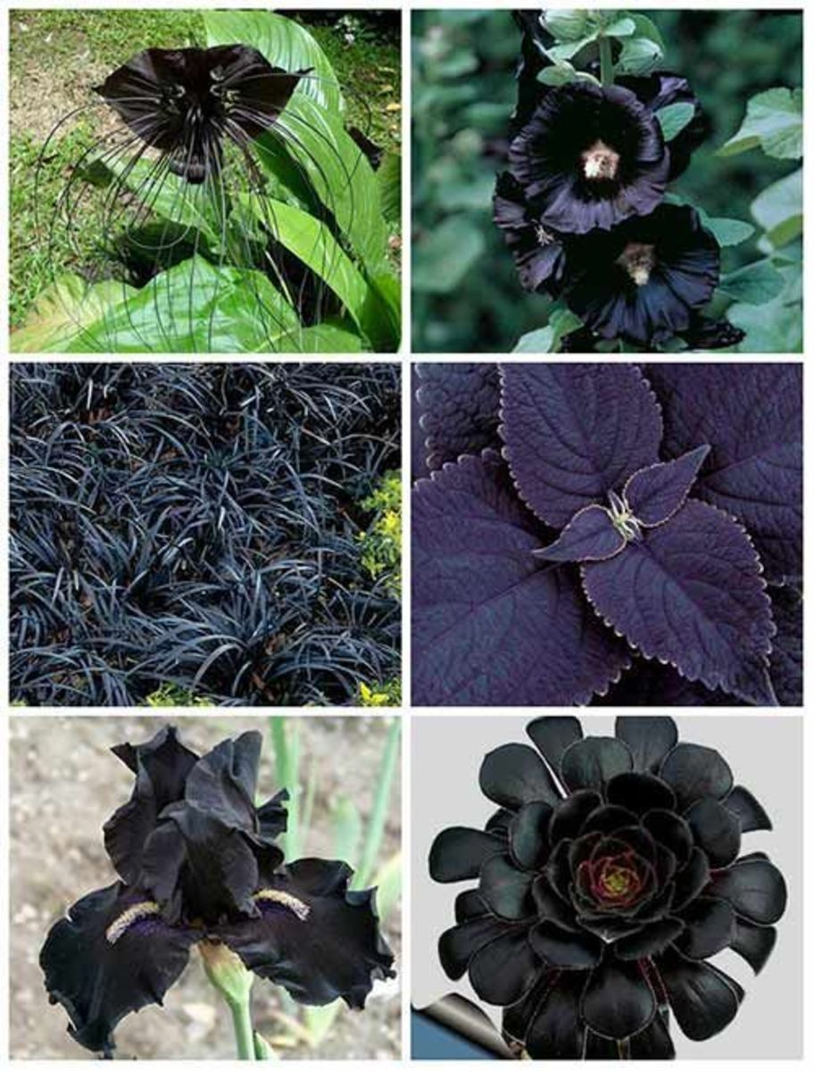 Examples of Black Flowers & Foliage