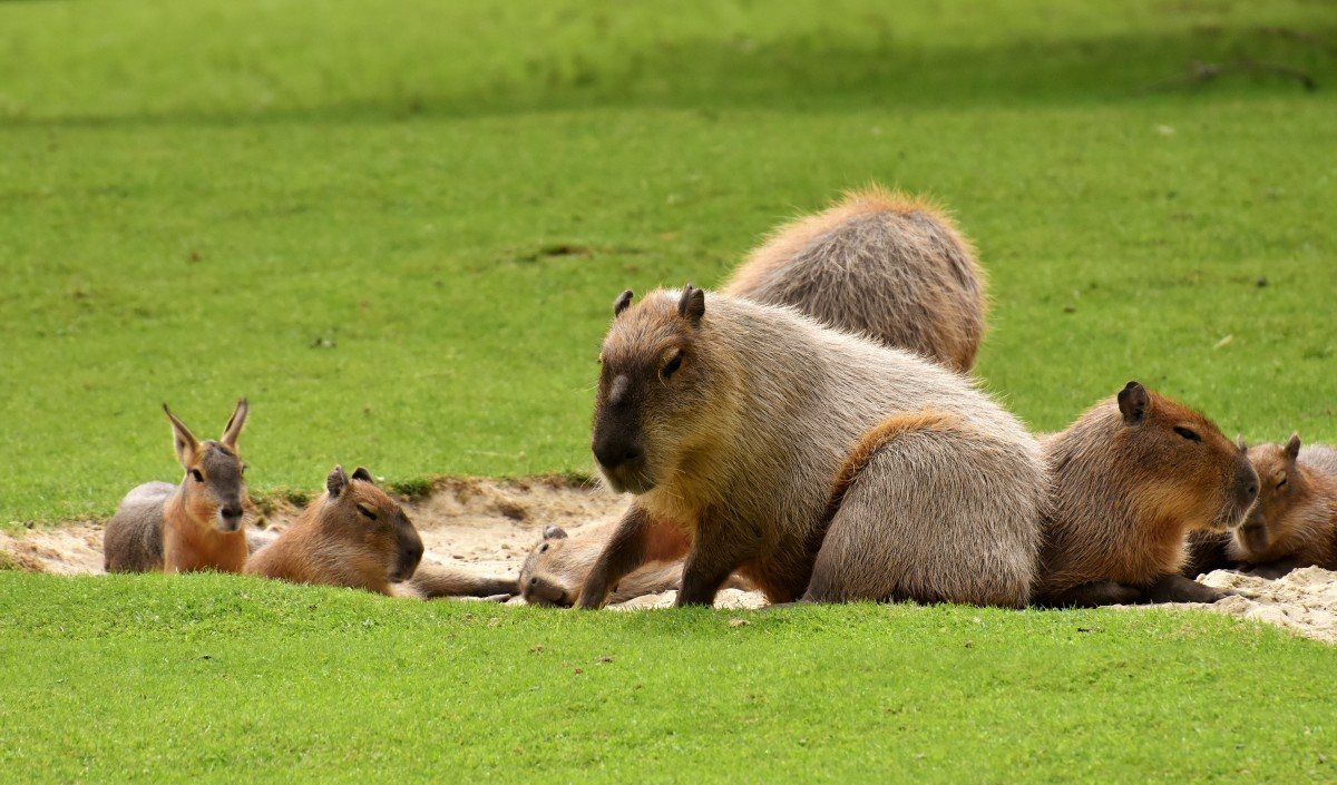 Capybara are the largest rodents in the world.