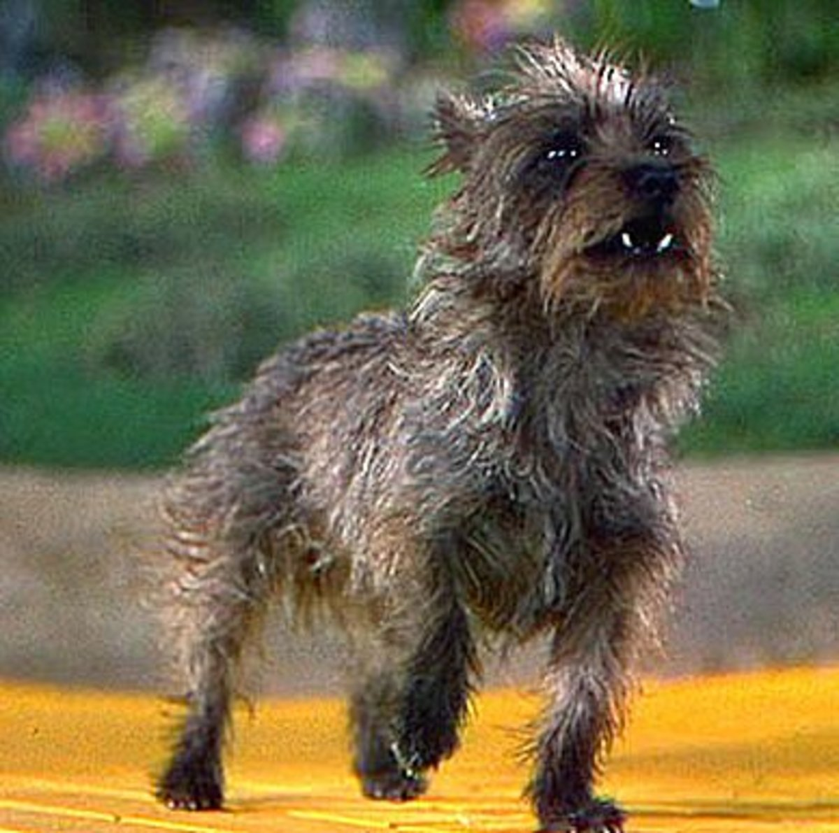 """Terry as Toto in the """"Wizard of Oz"""""""