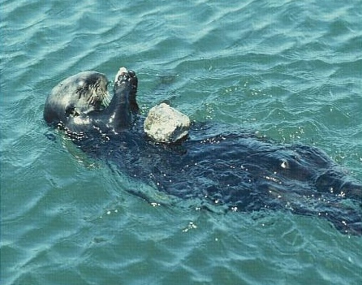 Sea otter using a stone on its chest to break open shellfish.