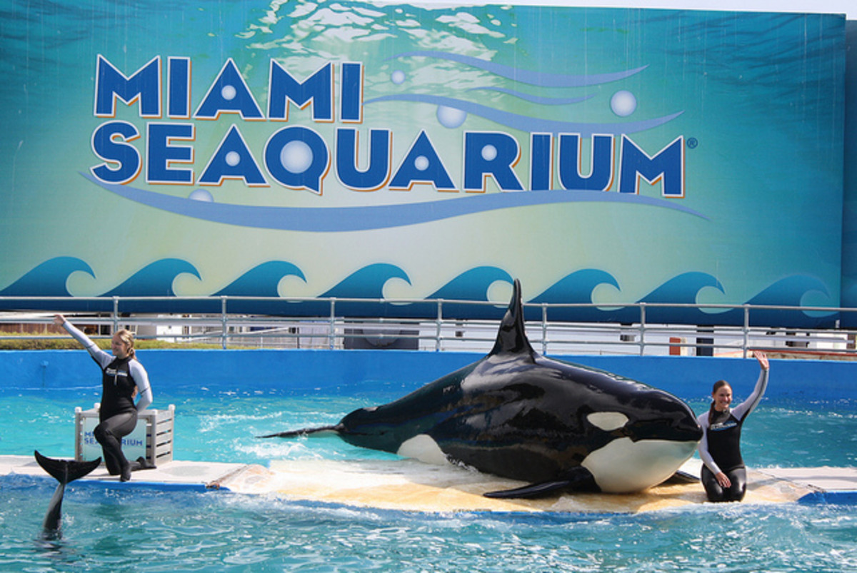 There's been so much hate against SeaWorld these days, it's almost as though people have forgotten about Lolita at the Miami Seaquarium who shared a tiny tank with four other dolphins.
