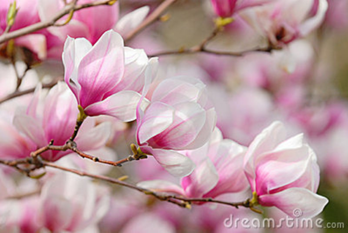 Mulan means Magnolia Blossoms in Chinese.