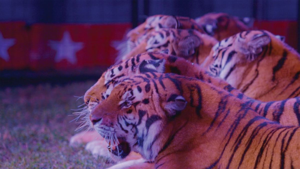 Beautiful tigers!