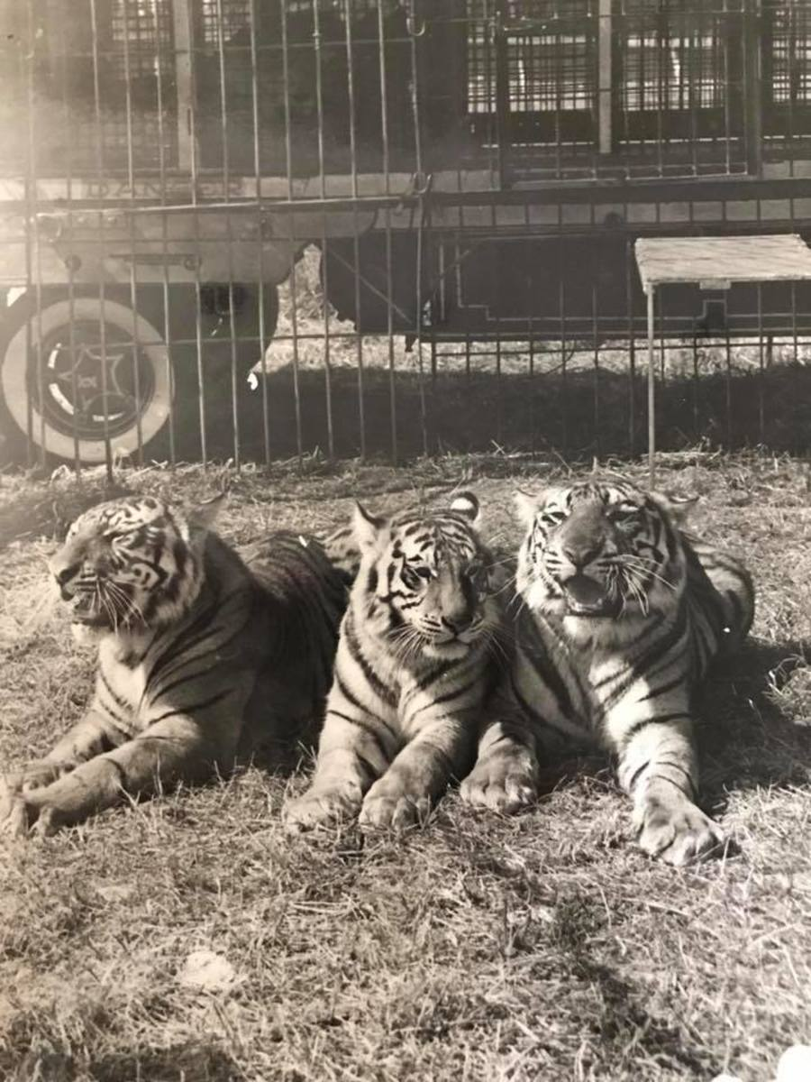 Three of Mabel's tigers