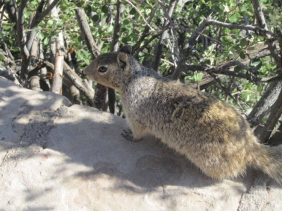 The Mighty Cute (But Sneaky!) Rock Squirrel