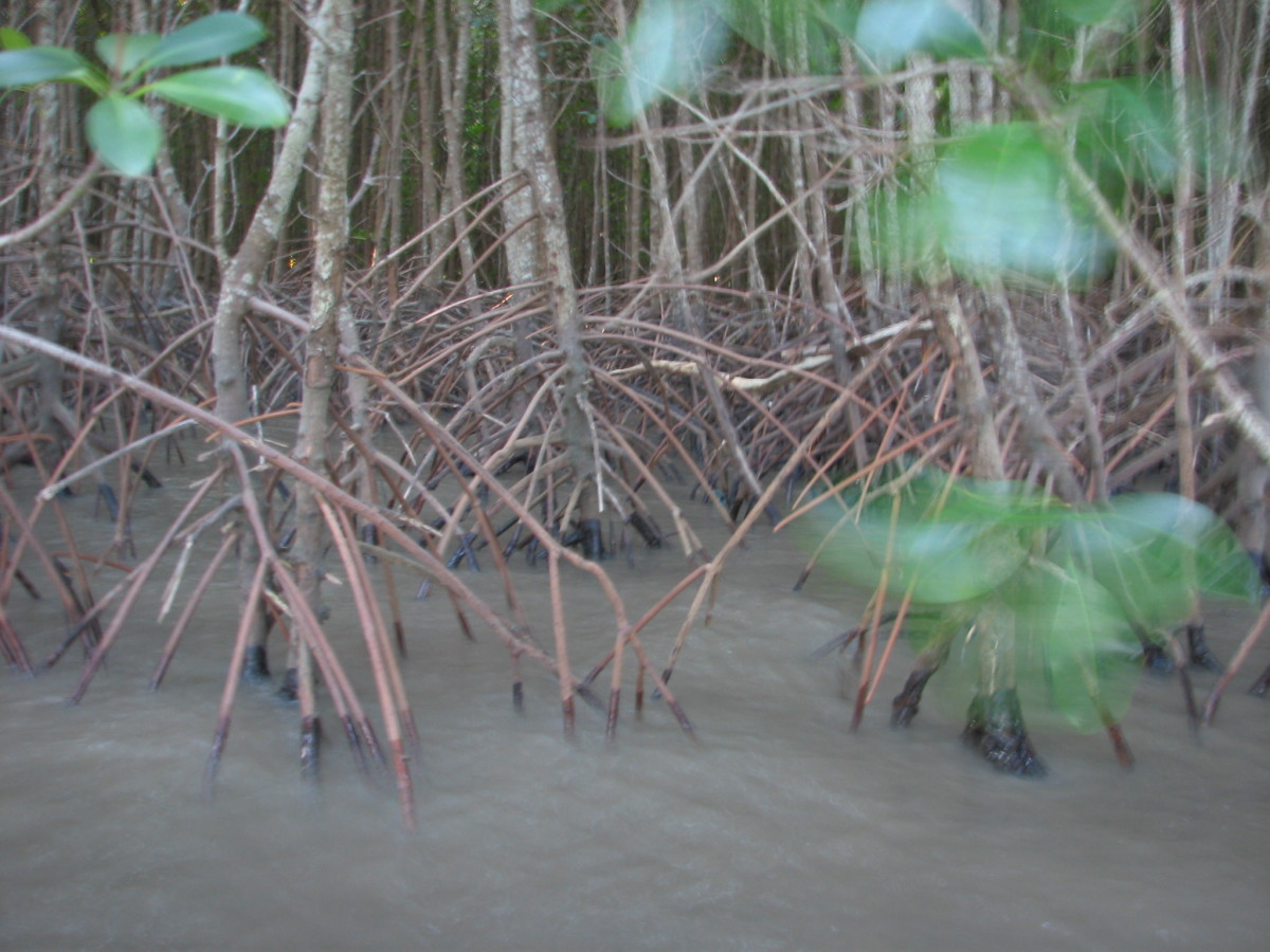 Mangroves in the Estuary