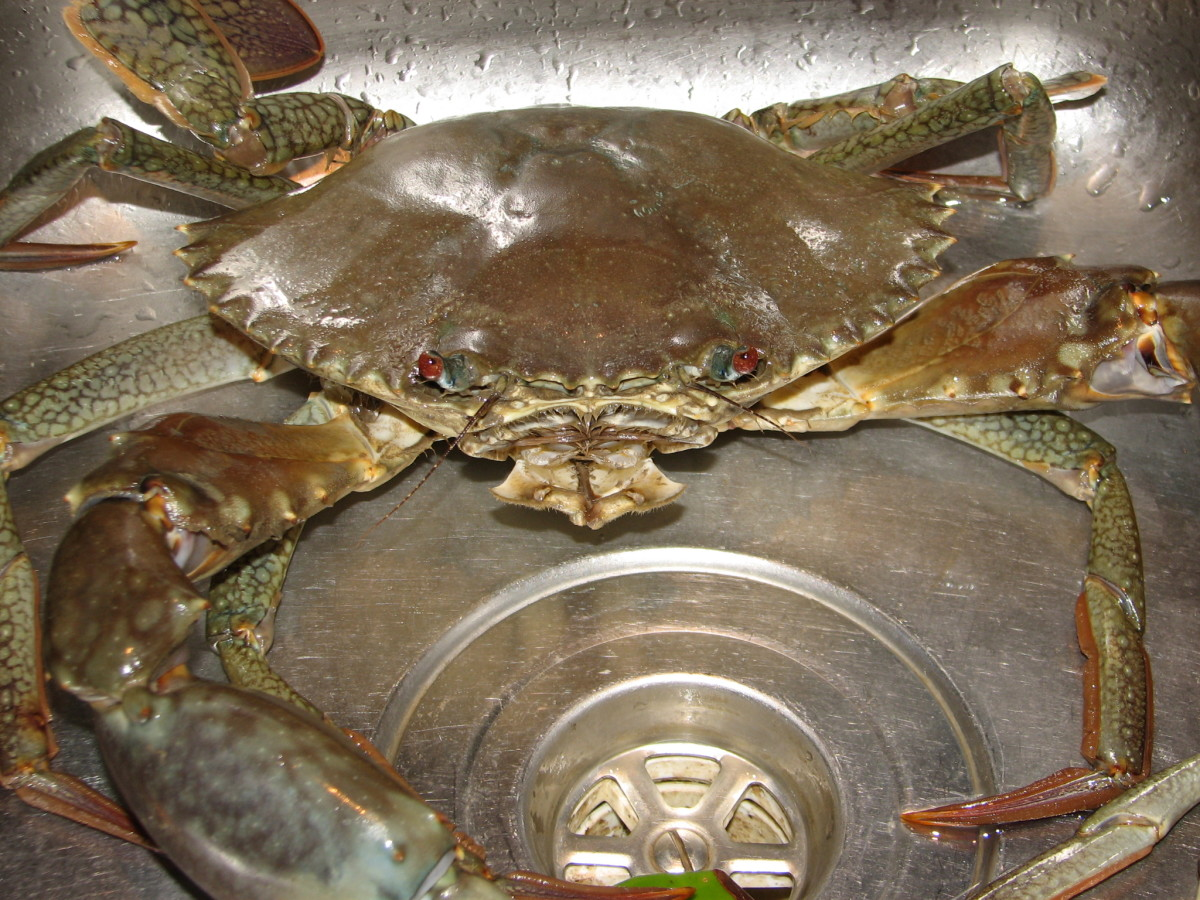 Live male crab in our kitchen sink!