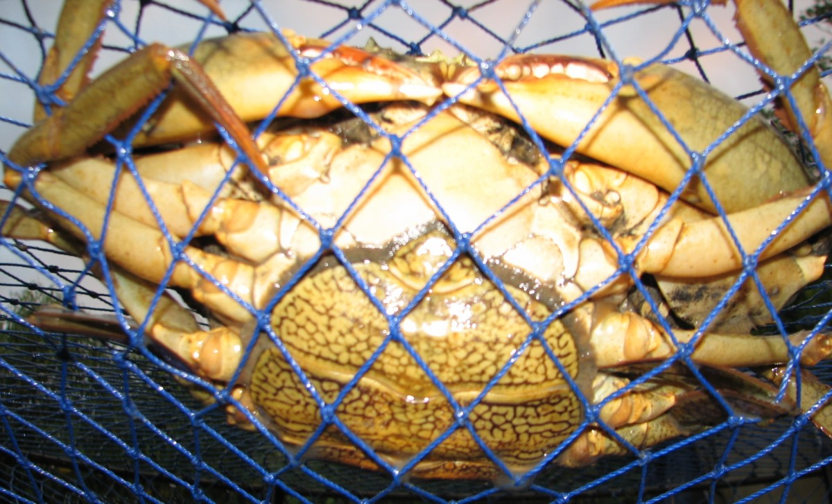 Markings on the underside of a female crab