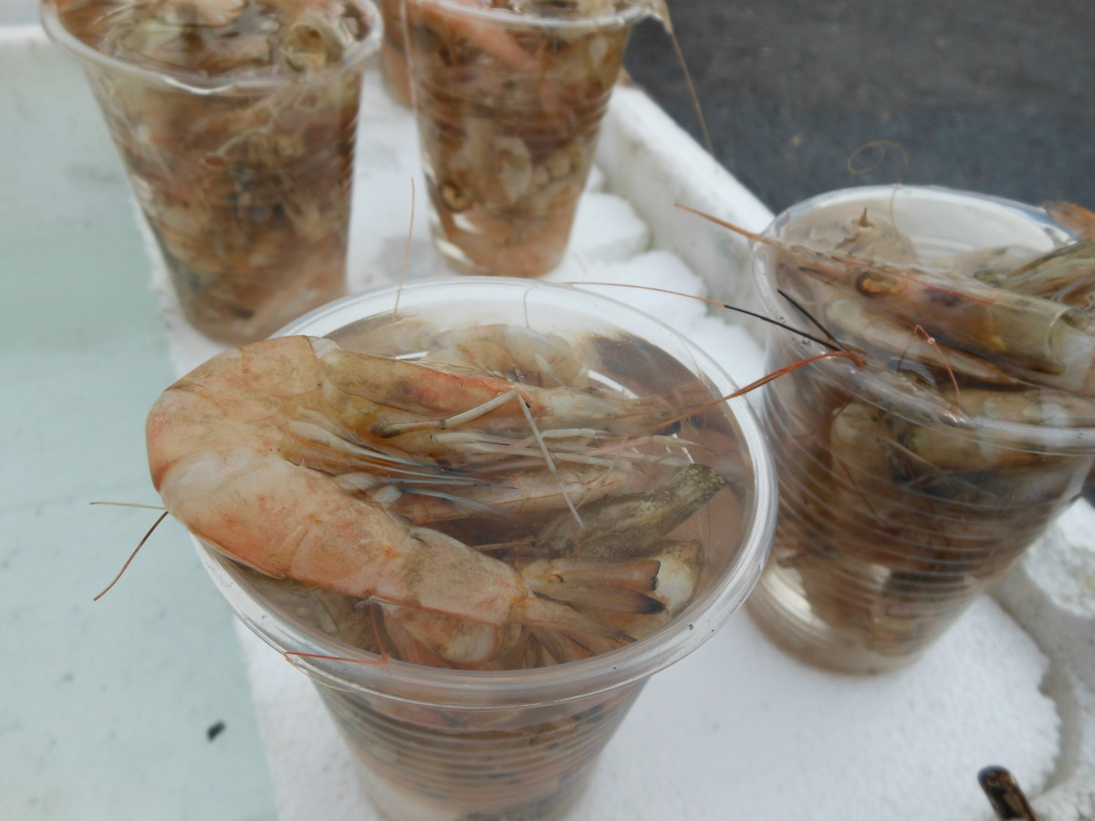 Live shrimp sold for bait