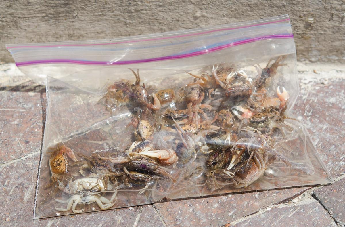 Fiddler crabs in a baggie