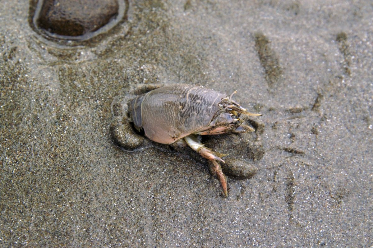 Pacific mole crab digging into wet sand