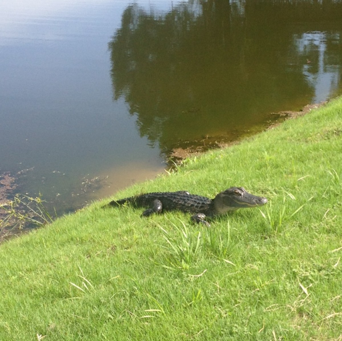 A young alligator sunning itself. Gators are everywhere in Florida and they are a common sight as they leave the water to sun themselves.