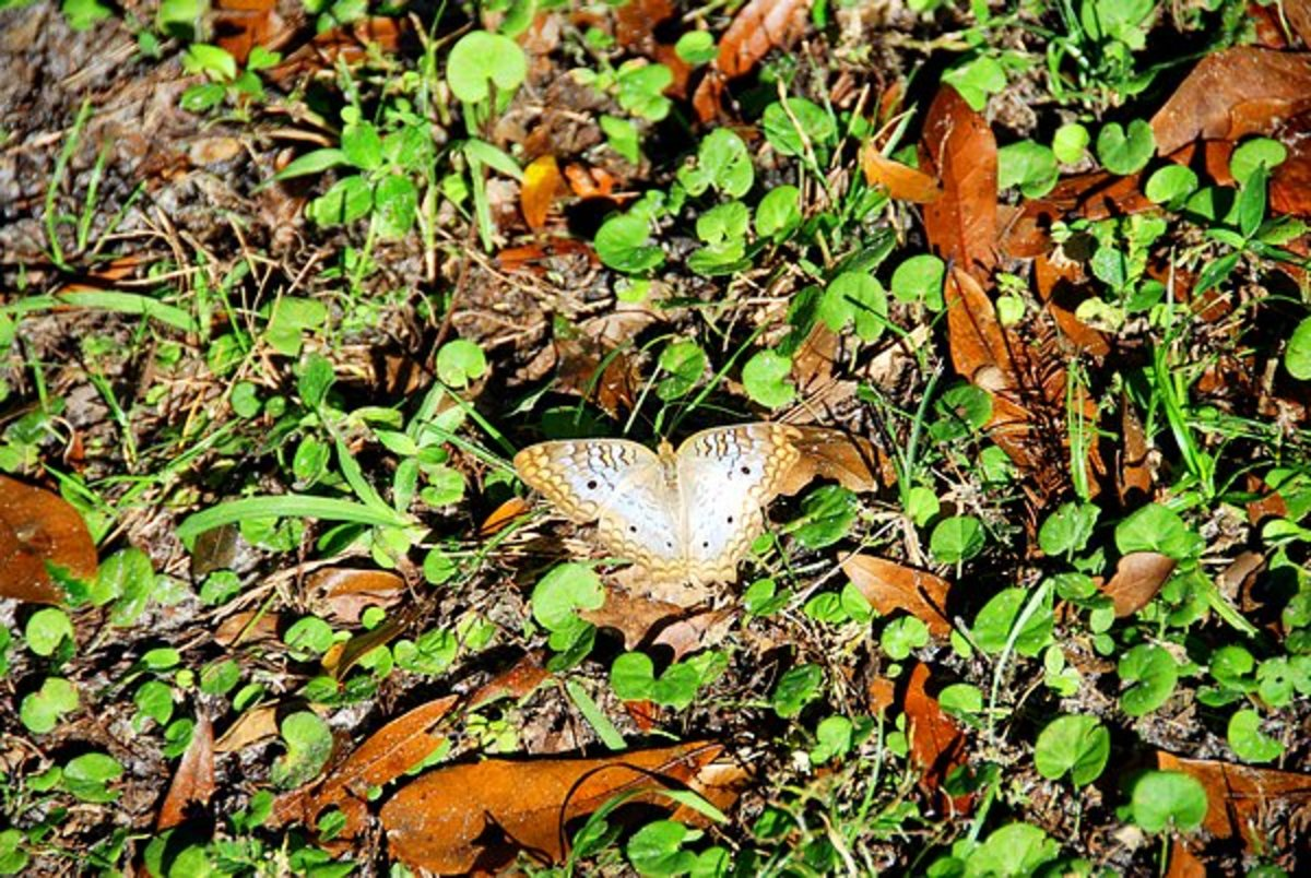 White Peacock Butterfly, native to Hardee County, Florida
