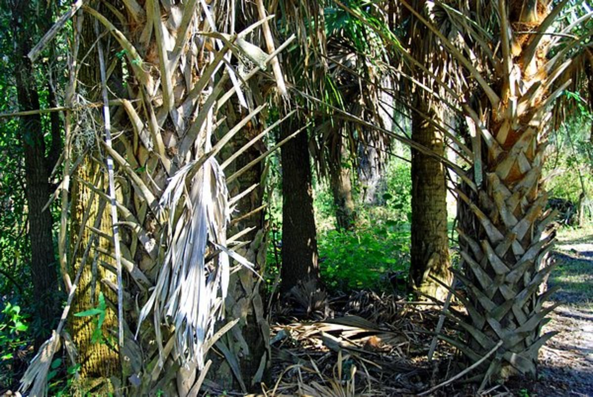 Native Palms, along the path