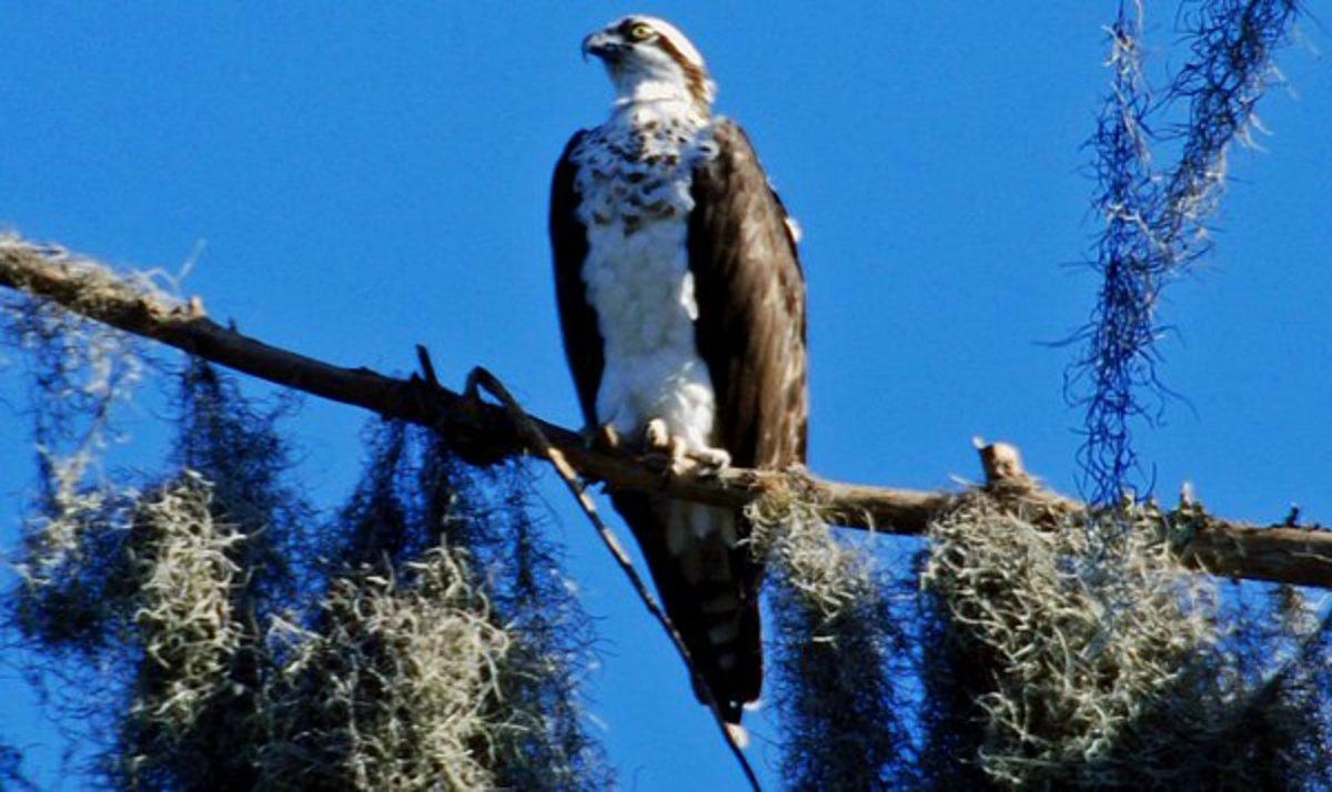 An osprey, a bird of prey that lives on fish.