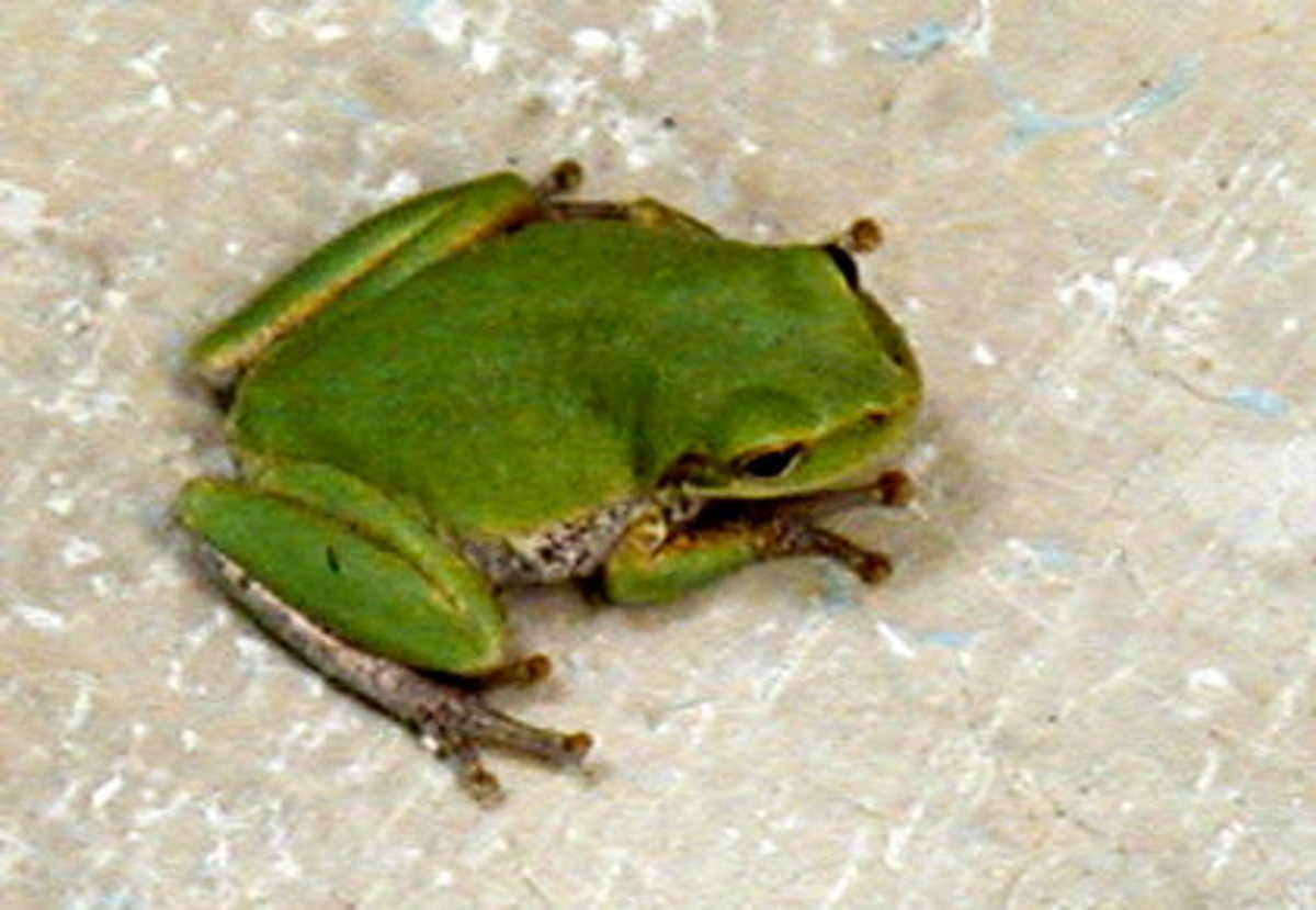 Cute little frogs sometimes show up in the restrooms. Little suction cups on their toes allow them to hang onto the walls and ceilings.