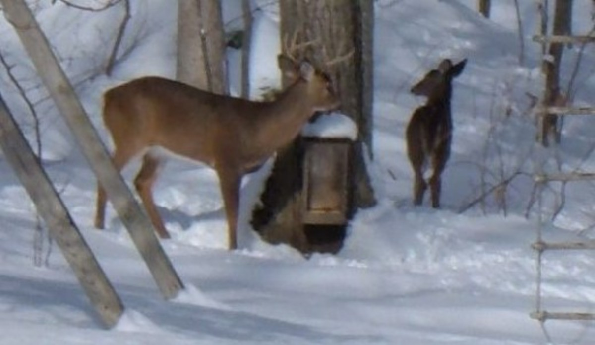 A pair of deer visiting our feeder box
