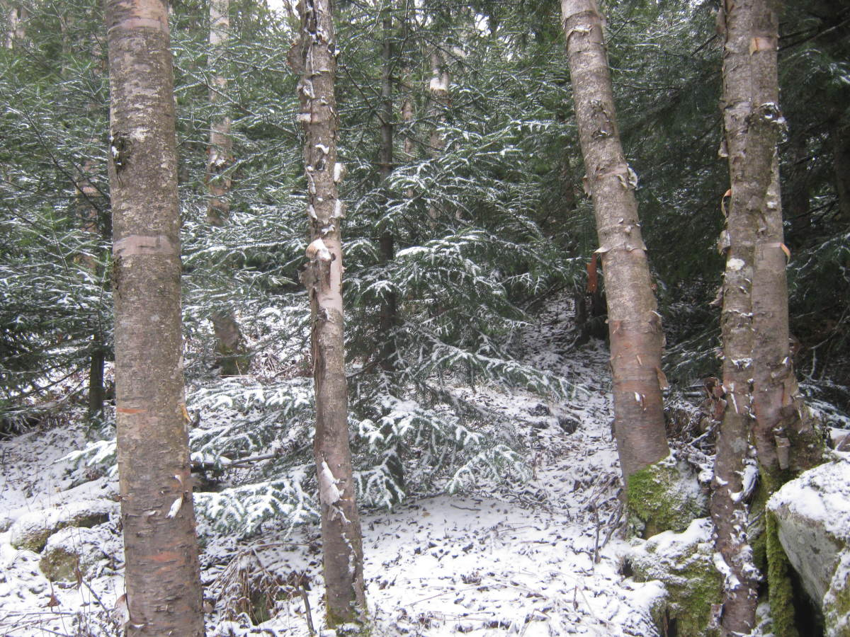 I cut to the right of the slide through a pleasant birch forest, which is very easy to walk through.