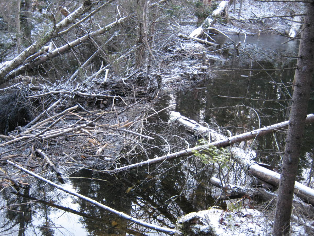 Beavers have been active at the bottom of the drainage.