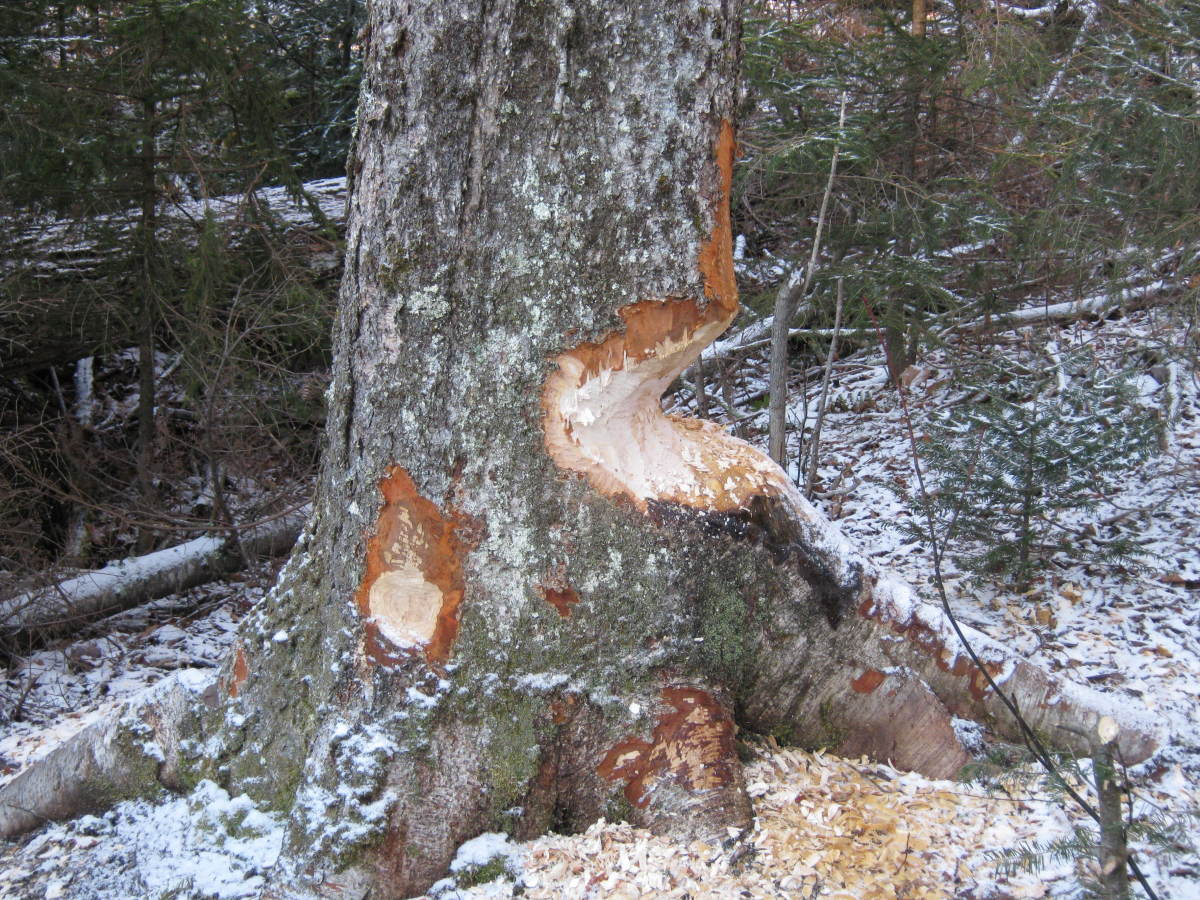 An industrious beaver is chomping on this tree.