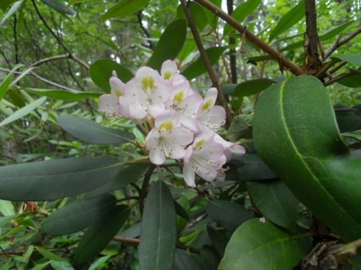 Rhododendron-in-Bloom