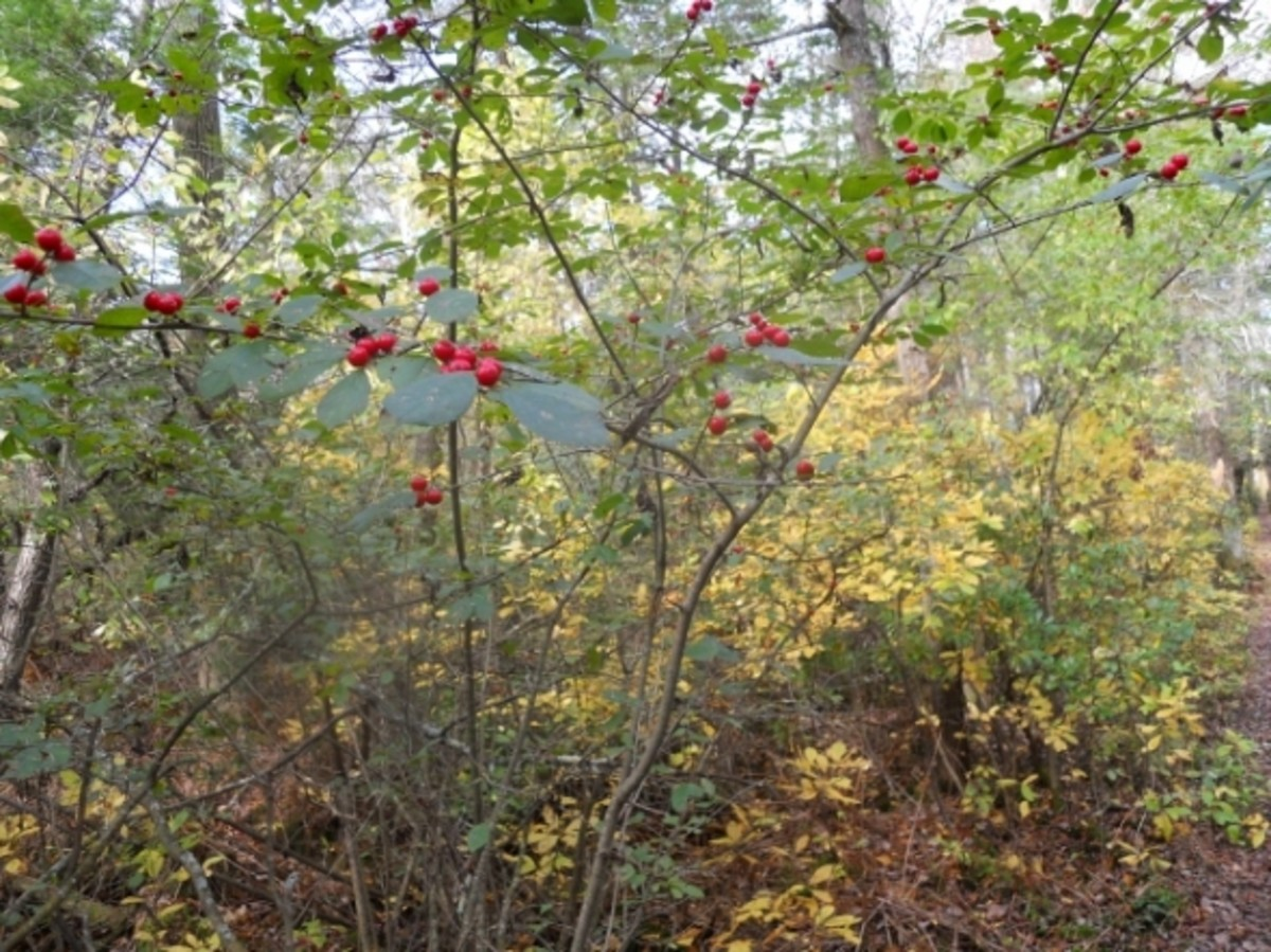 A view through red berries