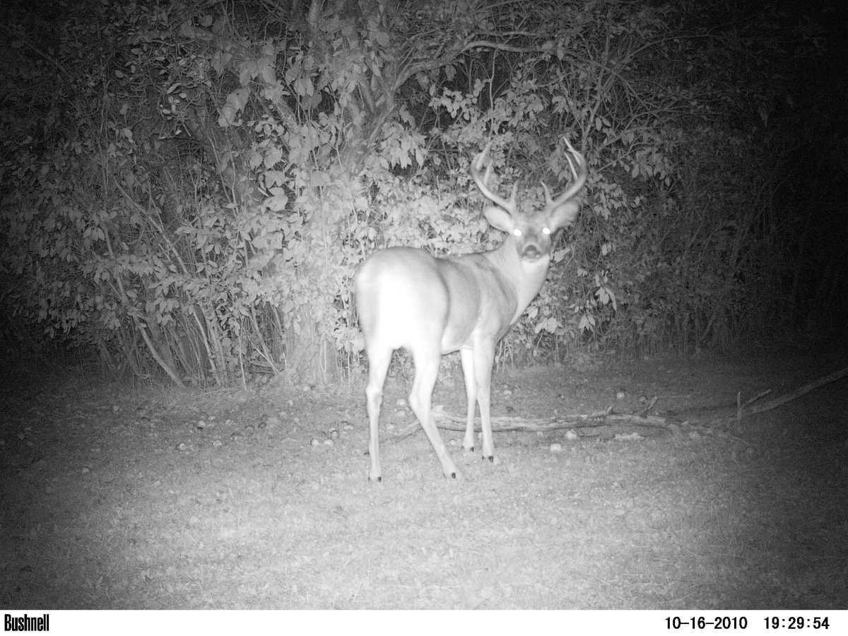 Big guys like this come out at night.  This picture taken by my motion activated infrared Bushnell game camera.