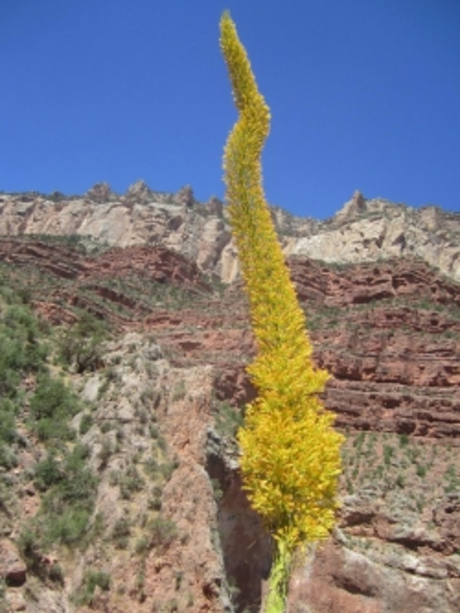 Century Plant in Grand Canyon